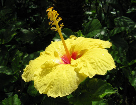tropical flowers at waikiki beach in hawaii, Beautiful flower